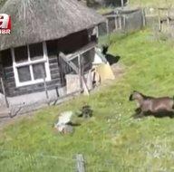 Şahin gözüne kestirip saldırdı! Horoz ve keçi...