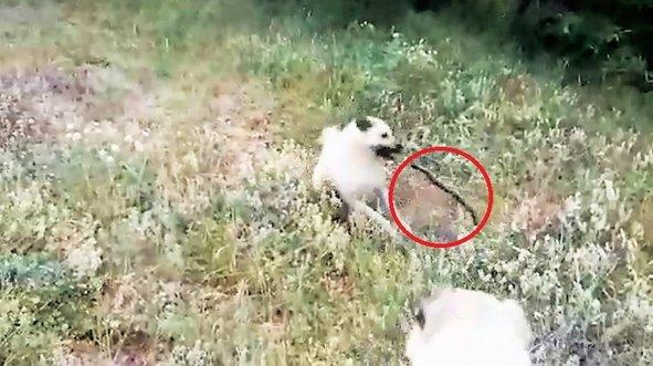 Çoban köpekleri ile yılan dövüşü kamerada