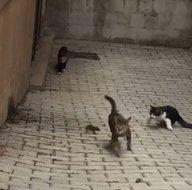 Kediler hayatlarının hatasını yaptı! Fare 5ine birden meydan okudu