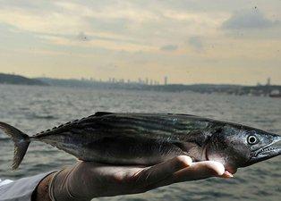 Palamut balığının nesli tehlike altında! Uzmanlardan kritik uyarı: 39 cm olsun