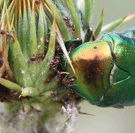 Doğada yaşam mücadelesi kamerada! Belgeselleri aratmayan anlar o ilimizde görüntülendi! Karıncalar altın böceğinin...