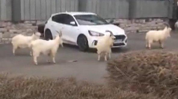 Korona sonrası sokakları yabani keçiler bastı!