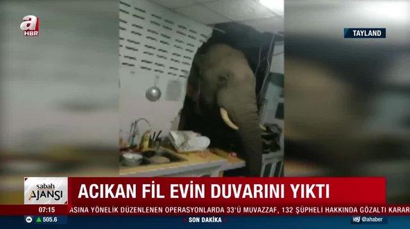 Acıkan fil parktan kaçıp mutfağın duvarını yıktı!