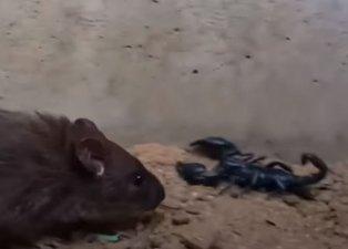 Akrep ve fare karşı karşıya geldi! Sonunda bakın kim kazandı