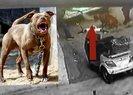 Son dakika: Hamile kediyi pitbull cinsi köpeğe yem etmişlerdi! Olayda flaş gelişme  Video