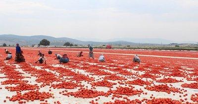 Türk domatesi dünya pazarında