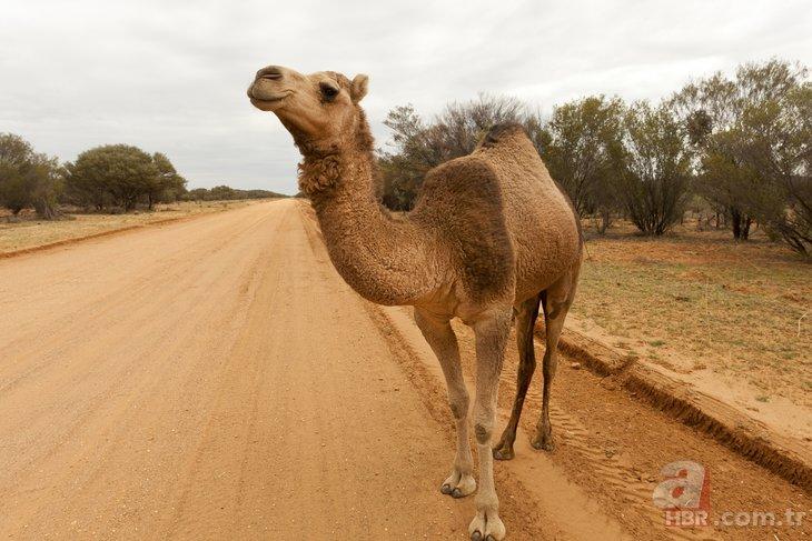 Avustralya deve katliamına atları da dahil etti! Avustralya'da develer neden öldürülecek?